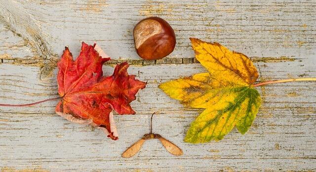 Dorodny kasztan wśród jesiennych liści