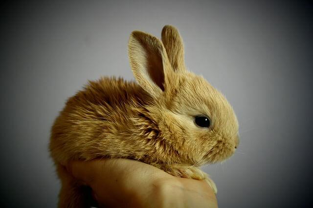 królik mały