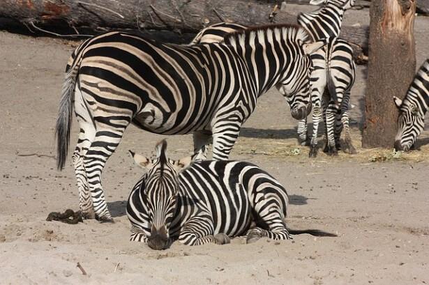 zebry duże i małe