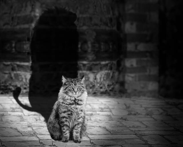 Kot w czerni i bieli z cieniem lwa
