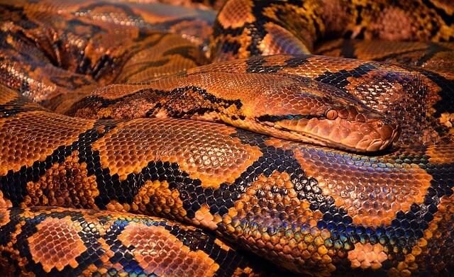 pomarańczowy wąż
